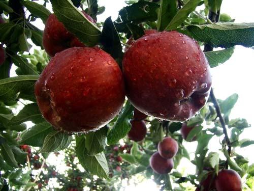 فروش نهال سیب